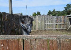 Dieser aufgeweckte Zeitgenosse lebt auch auf der Italien-Farm in Mednoje. / Peggy Lohse