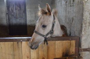 Und auch Pferde gibt es. Reittouren werden auch angeboten, allerdings dann auf den erwachsenen Pferden. / Peggy Lohse