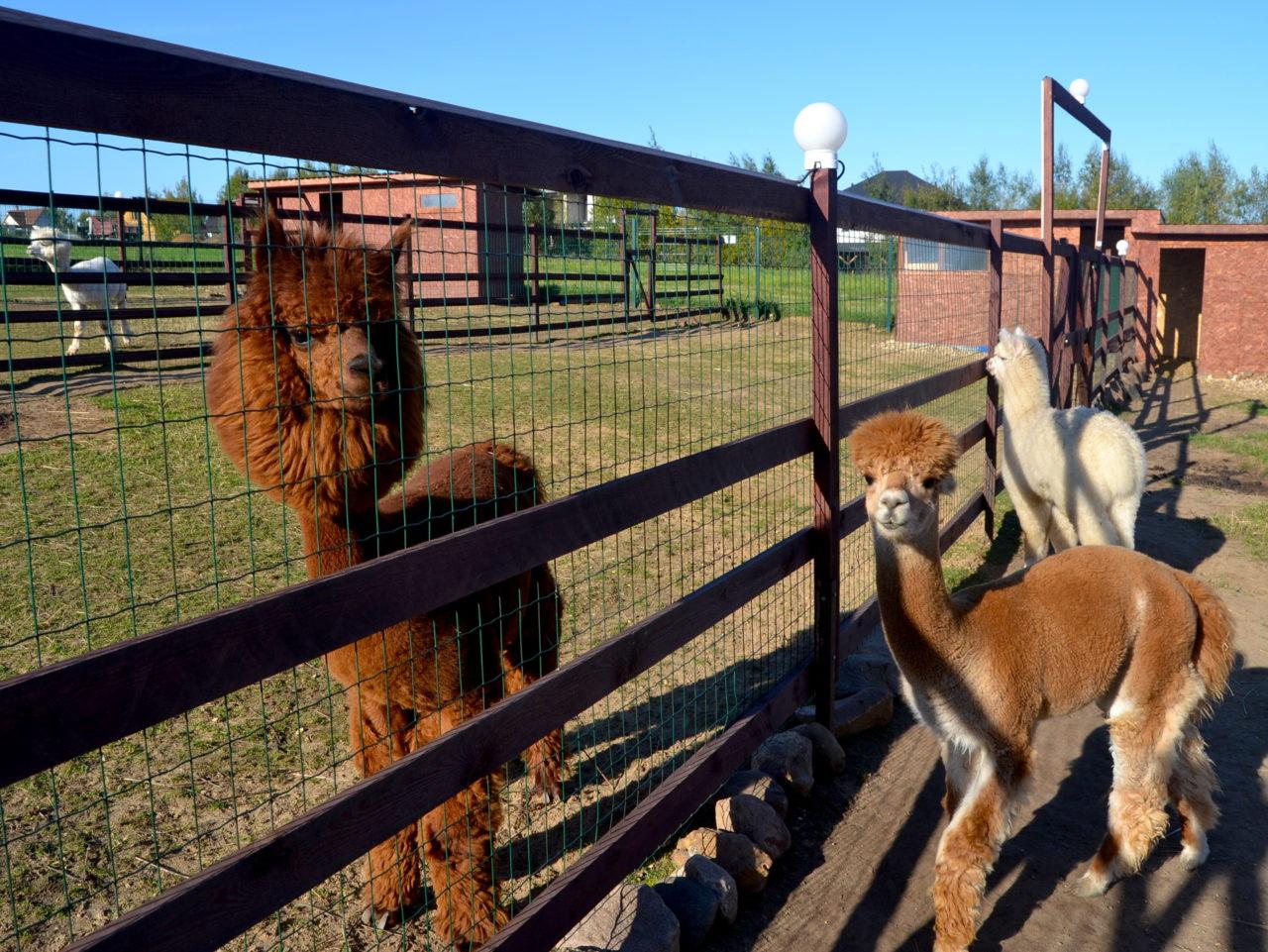 Insgesamt 15 Alpakas unterschiedlicher Fellfarbe leben hier. / Ljubawa Winokurowa