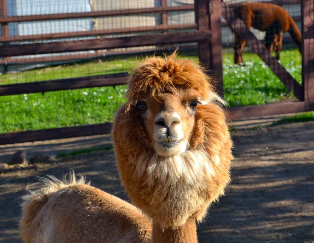 Das ist Igor, ein ganz normaler russischer Alpaka-Junge. / Ljubawa Winokurowa